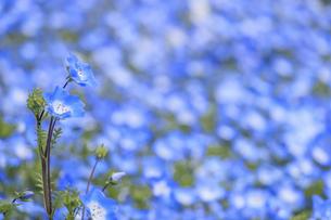 ネモフィラ 火の山公園トルコチューリップ園 山口県下関市の写真素材 [FYI04609270]