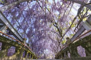 中山の大藤 福岡県柳川市の写真素材 [FYI04609312]