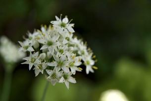 韮の花の写真素材 [FYI04609926]