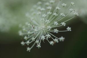 屋外で撮影したシシウドの花の写真素材 [FYI04610113]