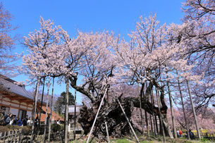 山高神代桜の写真素材 [FYI04610215]