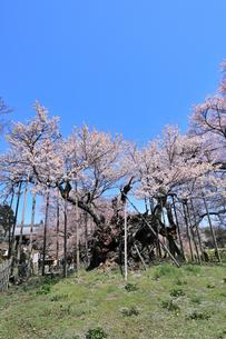 山高神代桜の写真素材 [FYI04610218]