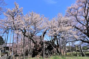 山高神代桜の写真素材 [FYI04610220]