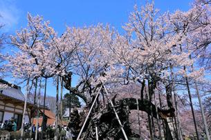 山高神代桜の写真素材 [FYI04610221]