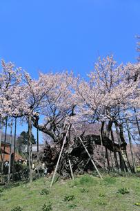 山高神代桜の写真素材 [FYI04610222]