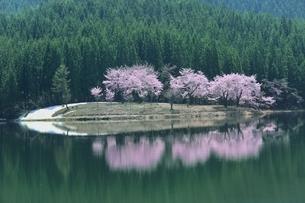 中子の桜の写真素材 [FYI04610227]