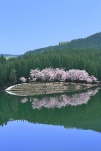 中子の桜の写真素材 [FYI04610229]