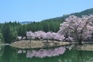 中子の桜の写真素材 [FYI04610230]