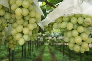 ブラジルで栽培されているブドウの写真素材 [FYI04610362]
