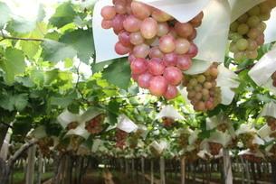 ブラジルで栽培されているブドウの写真素材 [FYI04610363]