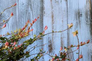 木材背景のハツユキカズラの写真素材 [FYI04610451]