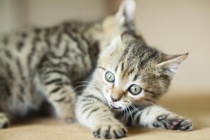 子猫の写真素材 [FYI04610799]