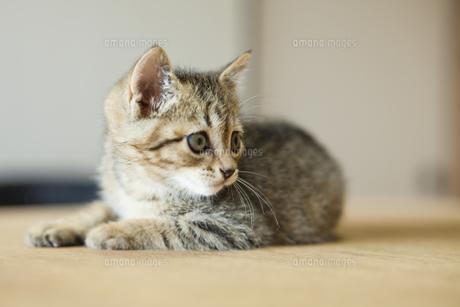 子猫の写真素材 [FYI04610801]