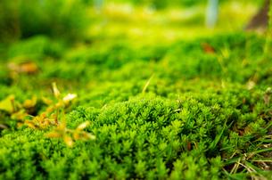 クローズアップした苔の風景の写真素材 [FYI04611016]