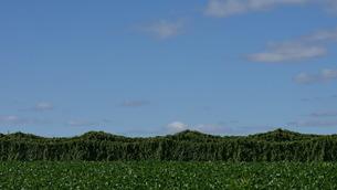 青空と長芋畑の写真素材 [FYI04611339]