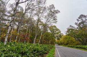 黒姫高原の白樺並木 紅葉の写真素材 [FYI04611358]
