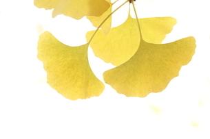 黄葉の写真素材 [FYI04611591]