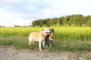 田んぼを背景に笑顔で並ぶ2匹の犬の写真素材 [FYI04611892]