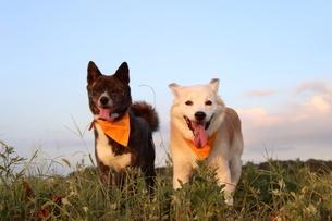 青空を背景に笑顔で見つめる2匹の犬の写真素材 [FYI04611894]
