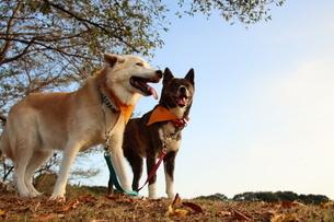 青空を背景に2匹で並ぶ笑顔の犬の写真素材 [FYI04611895]