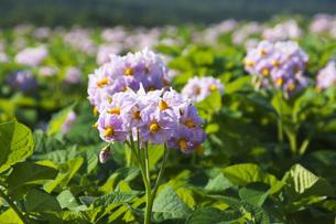 ジャガイモの花の写真素材 [FYI04611902]