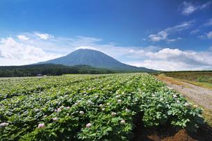 羊蹄山とジャガイモの花の写真素材 [FYI04611922]