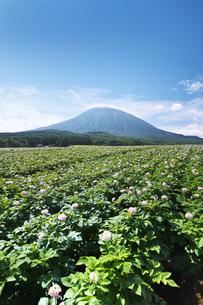 羊蹄山とジャガイモの花の写真素材 [FYI04611923]