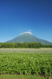 羊蹄山とジャガイモの花の写真素材 [FYI04611926]