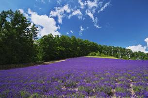 ぶどうヶ丘公園のラベンダーの写真素材 [FYI04611940]