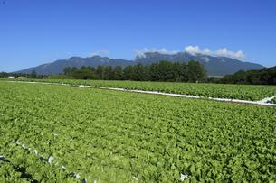 長野県野辺山高原の高原野菜栽培 レタスの写真素材 [FYI04612064]