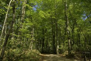 白神山地 新緑のブナ自然林の写真素材 [FYI04612410]
