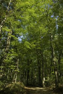 白神山地 新緑のブナ自然林の写真素材 [FYI04612417]