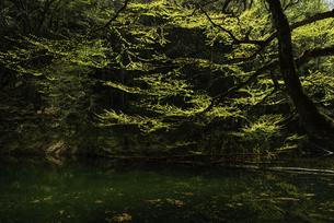 白神山地 新緑が芽吹く長池の写真素材 [FYI04612428]