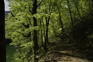 新緑が芽吹く白神山地の遊歩道の写真素材 [FYI04612439]