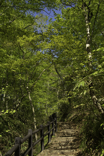 新緑が芽吹く白神山地の遊歩道の写真素材 [FYI04612453]