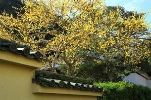 ロウバイ咲く西南院 当麻寺の写真素材 [FYI04612742]