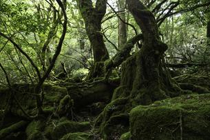 屋久島 白谷雲水峡の「もののけの森(苔むす森)」の写真素材 [FYI04613303]