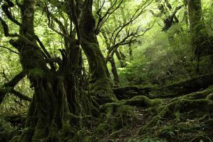 屋久島 白谷雲水峡の「もののけの森(苔むす森)」の写真素材 [FYI04613304]