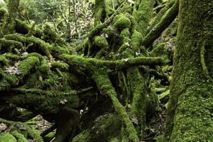 屋久島 白谷雲水峡の苔むす木の写真素材 [FYI04613305]