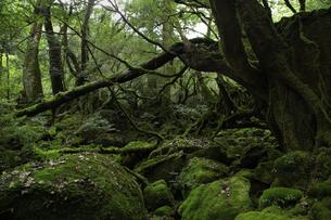 屋久島 白谷雲水峡の「もののけの森(苔むす森)」の写真素材 [FYI04613306]