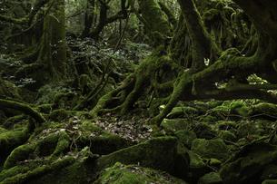 屋久島 白谷雲水峡の「もののけの森(苔むす森)」の写真素材 [FYI04613307]