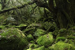 屋久島 白谷雲水峡の「もののけの森(苔むす森)」の写真素材 [FYI04613409]