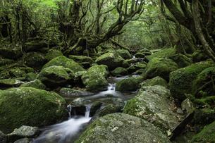 屋久島 白谷雲水峡の渓流の写真素材 [FYI04613412]