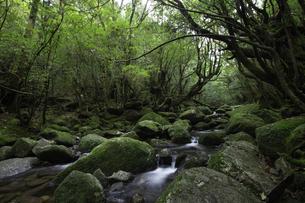 屋久島 白谷雲水峡の渓流の写真素材 [FYI04613413]