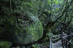 屋久島 白谷雲水峡の遊歩道の写真素材 [FYI04613416]