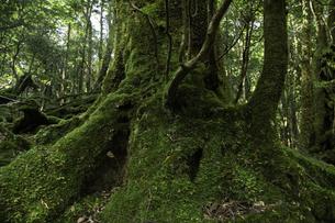 屋久島 白谷雲水峡の苔むす木の写真素材 [FYI04613452]