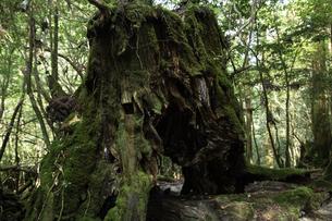 屋久島 白谷雲水峡の「鹿の宿」の写真素材 [FYI04613457]