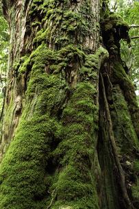 屋久島 白谷雲水峡の苔むす木の写真素材 [FYI04613575]