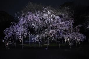 六義園のしだれ桜の写真素材 [FYI04613634]