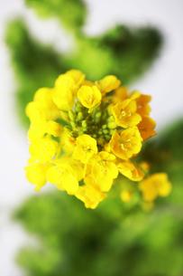 咲き始めた菜の花の写真素材 [FYI04613758]